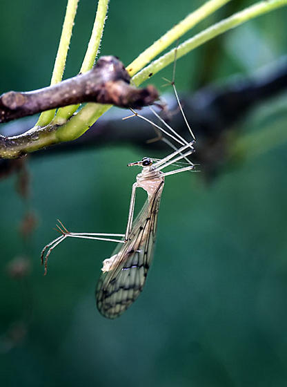 flying insect - Bittacus