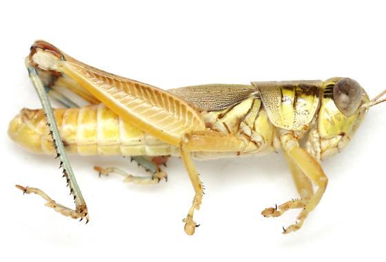 Melanoplus cameronis Roberts - Melanoplus cameronis - male