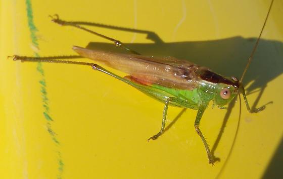 Short-winged Meadow Katydid - Conocephalus brevipennis - male