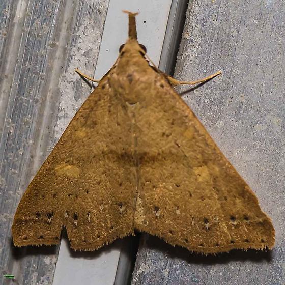 Renia fraternalis - Fraternal Renia Moth? - Renia salusalis - female