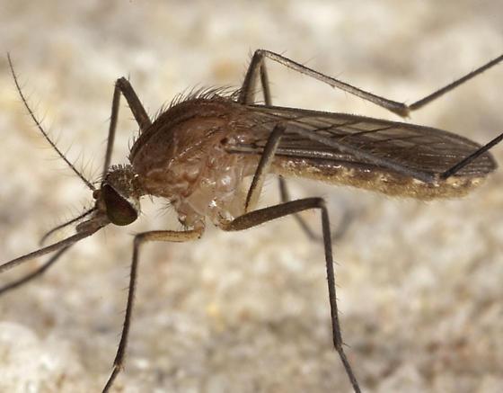 Mosquitoe IMG_2087 - Culex pipiens - female