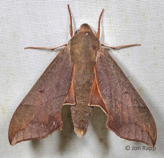 Virginia Creeper Sphinx Moth - Darapsa myron