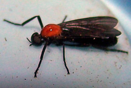 Plecia nearctica - male