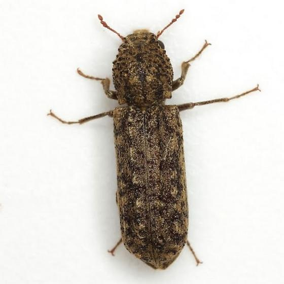 Lichenophanes bicornis (Weber) - Lichenophanes bicornis