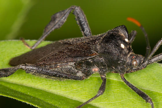 Leaf Footed Bug - Acanthocephala terminalis ??? - Acanthocephala terminalis