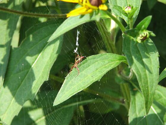 NC spider - Micrathena sagittata