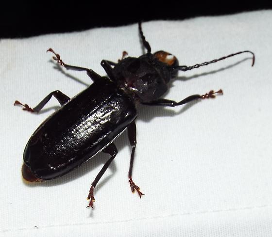 Stenodontes sp. - Mallodon dasystomus
