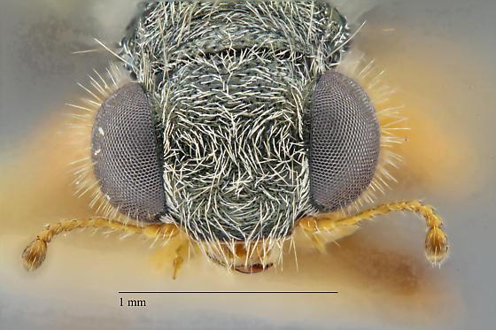 Cleridae - Phyllobaenus