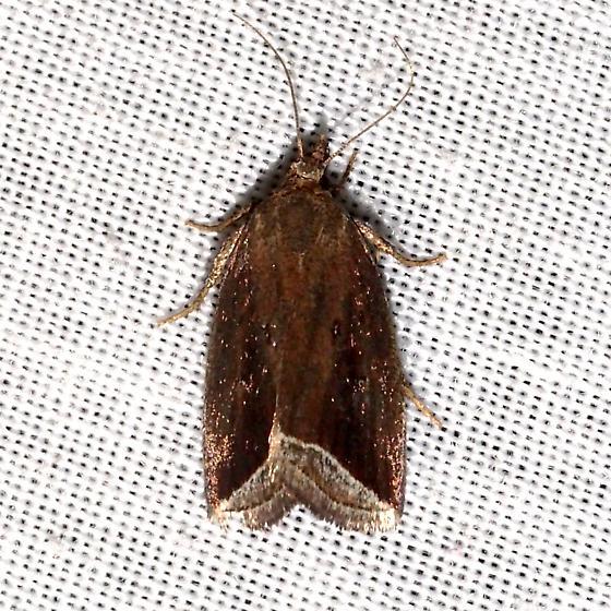 Curved Halter Moth - Hodges#9059 - Capis curvata
