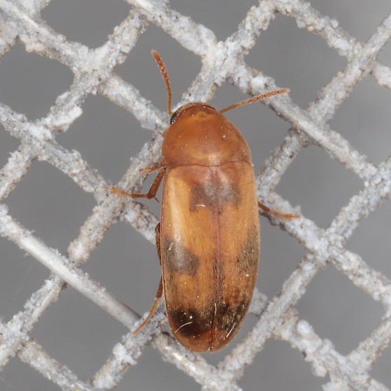 Mycetophagidae? - Diclidia