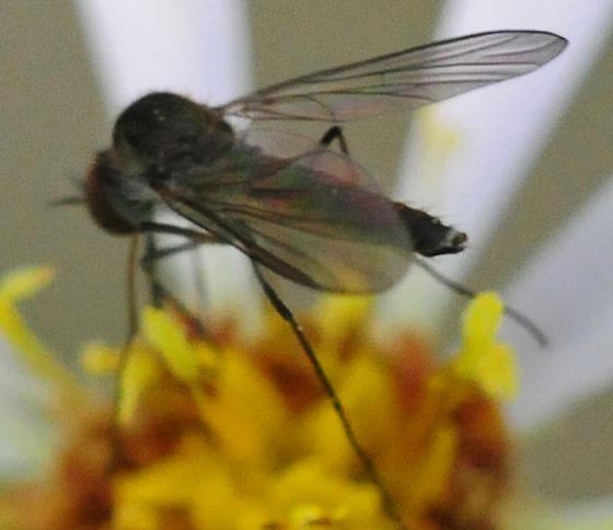 Bombyliidae - Bee Flies Geron calvus  - Geron calvus