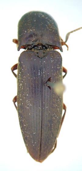 Elaterid 02 - Diplostethus carolinensis