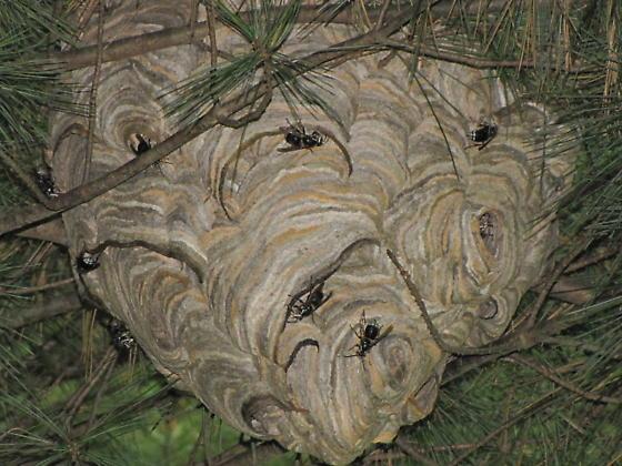 beautiful home - Dolichovespula maculata