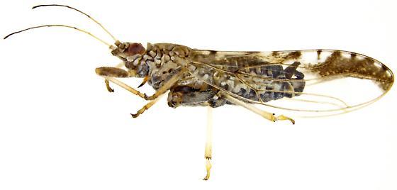 Leuronota maculata? Male? - Leuronota maculata - male