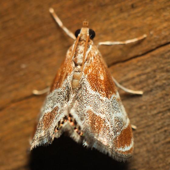 Metalmark Moth? - Chalcoela pegasalis