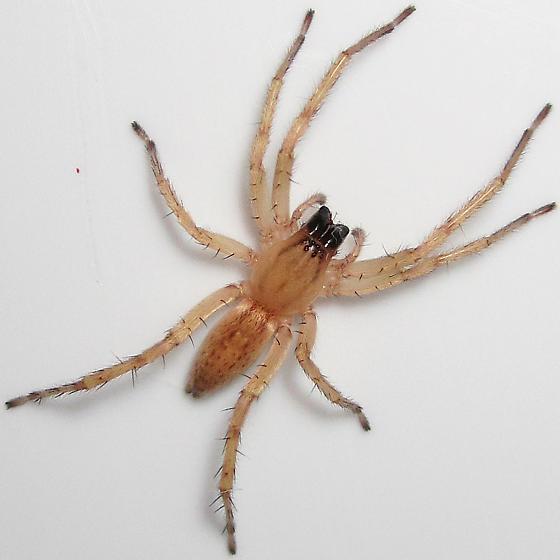 Hibana gracilis - female
