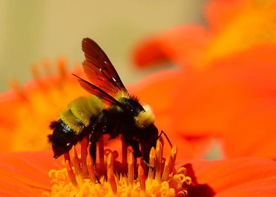 Sonoran Bumble Bee? I think so. - Bombus sonorus