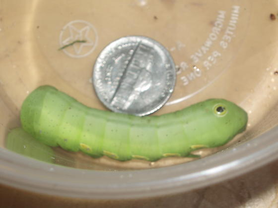Very large green caterpillar? - Eumorpha pandorus