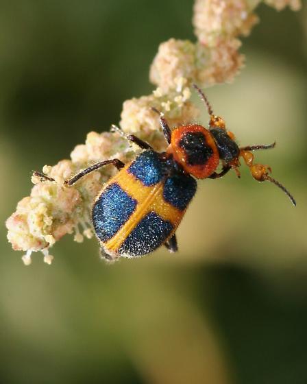 Beetle - Collops balteatus