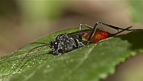Ichneumon wasp - Cryptus albitarsis - female