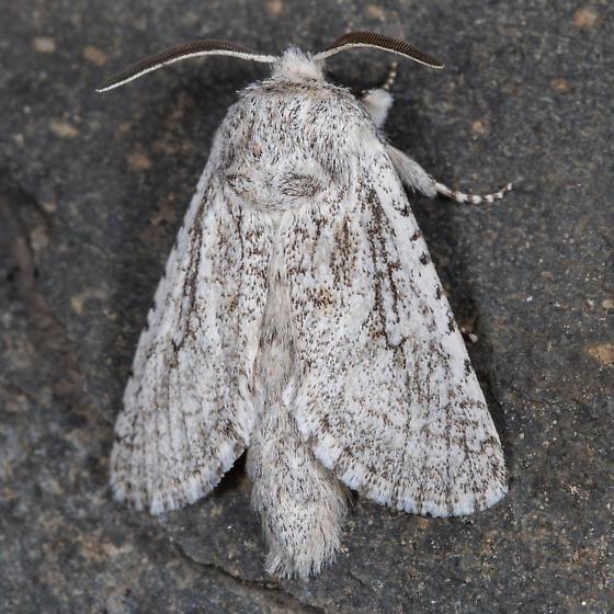 Moth - Comadia suaedivora