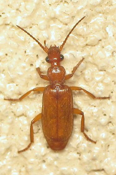 Reddish carabid - Helluomorphoides