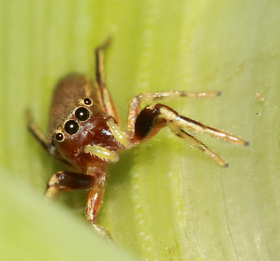 Jumping Spider - Tutelina elegans