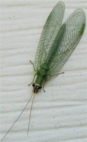Chrysopid - Chrysopa oculata