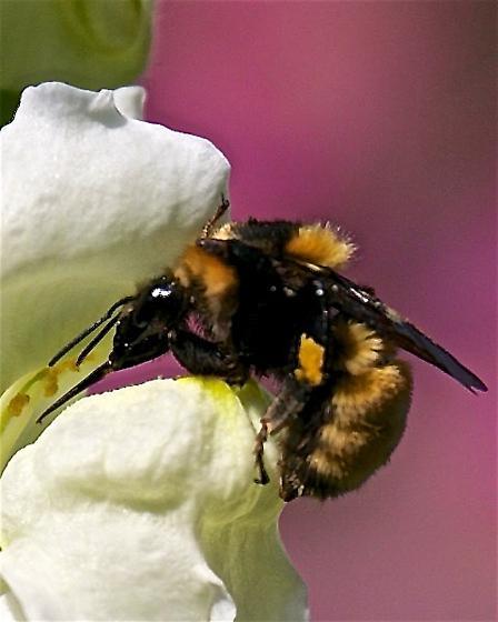 Bumble Bee, different - Bombus borealis