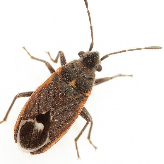 Lygaeospilus tripunctatus (Dallas) - Lygaeospilus tripunctatus