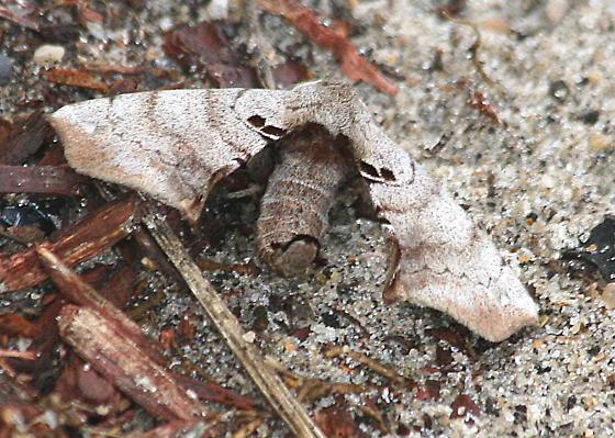 moth sp.  - Apatelodes torrefacta
