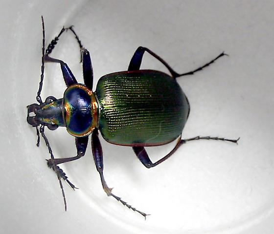 big green beetle - Calosoma - Calosoma scrutator - BugGuide Net