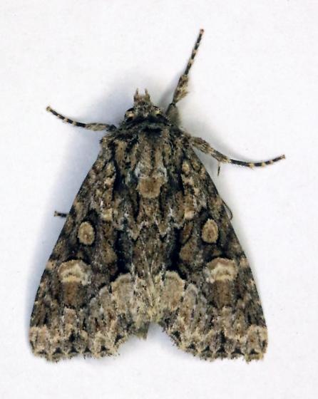 Platypolia mactata