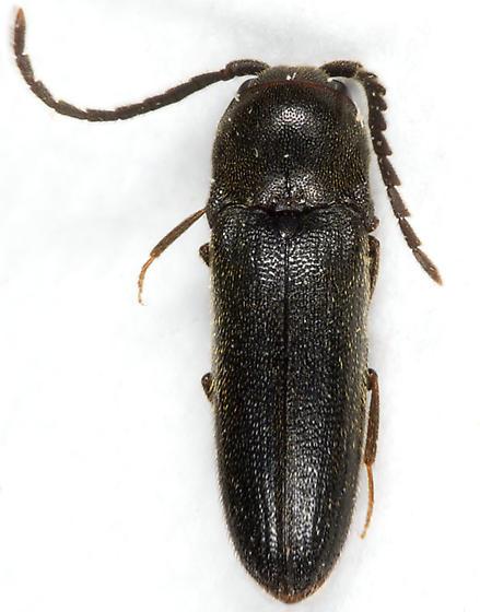 False Click Beetle - Microrhagus pectinatus - female