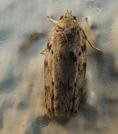 Moth 2 - Antaeotricha humilis