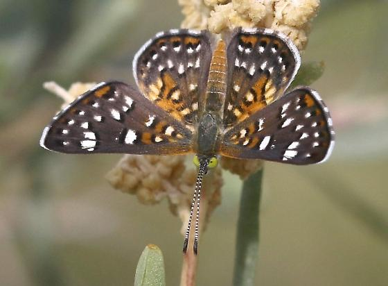 metalmark butterfly sp ? - Apodemia