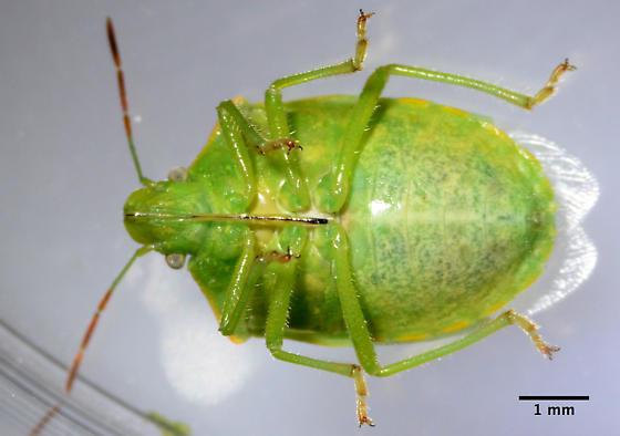 2594 - Thyanta pallidovirens