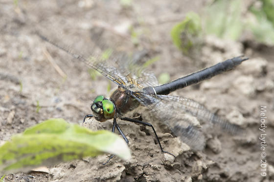Dragonfly in British Columbia, possibly an emerald - Cordulia shurtleffii