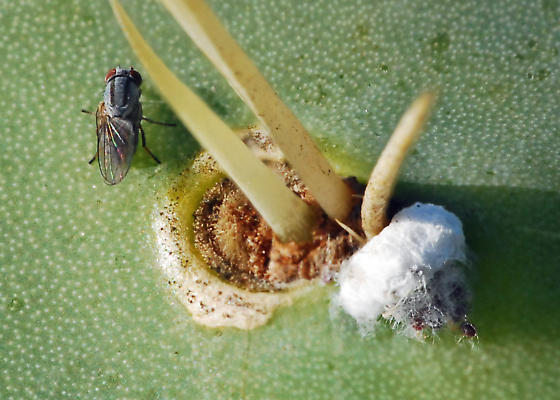 Need ID for fly associated with Cochineal - Leucopis bellula