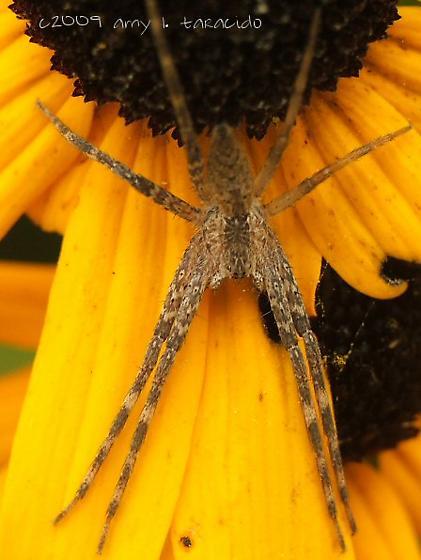 unknown spider - Pisaurina