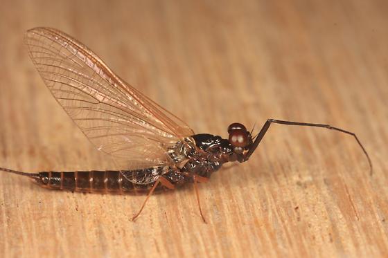 Mayfly - Leptophlebia intermedia - male