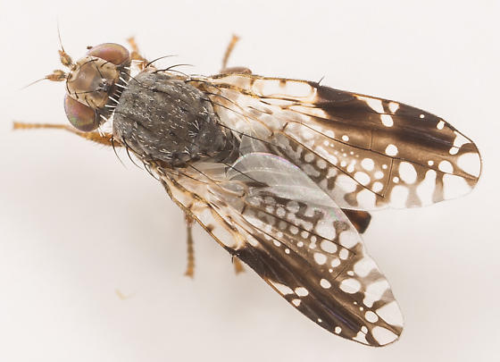 Tephritis pura - female