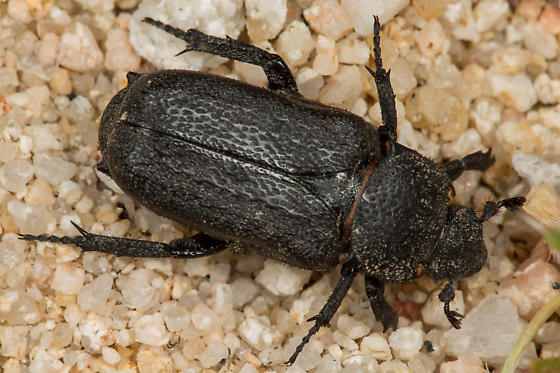 Cremastocheilus quadratus