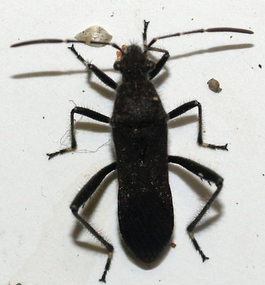 black hairy broad headed bug - Alydus