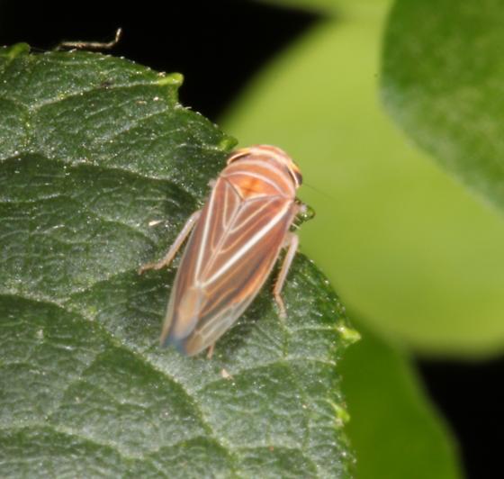 Colorful leafhopper - Idiodonus kennecottii