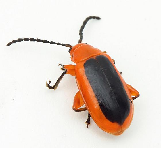 I think that this has to be Disonycha discoidea - Disonycha discoidea