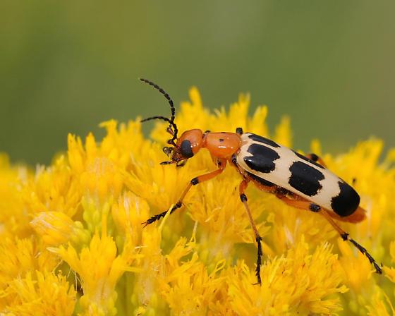 Charlie Brown Blister Beetle - Pyrota palpalis - Pyrota palpalis