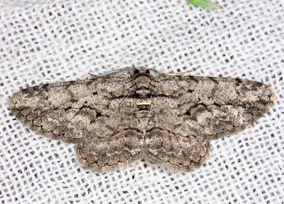6590 - Common Gray - Anavitrinella pampinaria - male