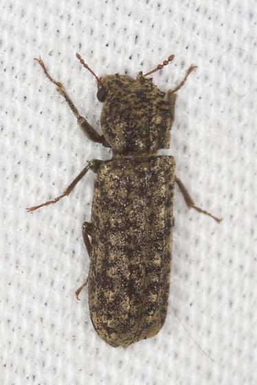 unidentified beetle - Lichenophanes bicornis