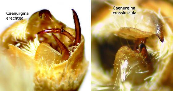 Caenurgina erechtea vs C. crassiuscula - Caenurgina erechtea - male